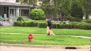 Chester (labrador Retriever) Boot Camp Training Video Minneapolis