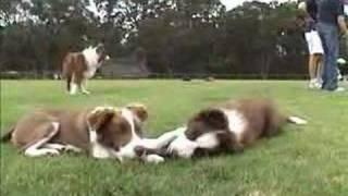 Chocolate Border Collie Puppy Day