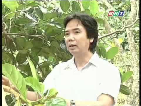 Kỹ thuật xử lý mít Thái siêu sớm ra hoa đúng vụ .flv