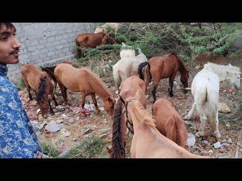 Pony Horse Available For Sale   Tatto   Baby Horse Available In Hyderabad