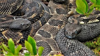 Rattlesnake and Copperhead Hunting In Pennsylvania 2019 - Seth Tags Out on a Copperhead!