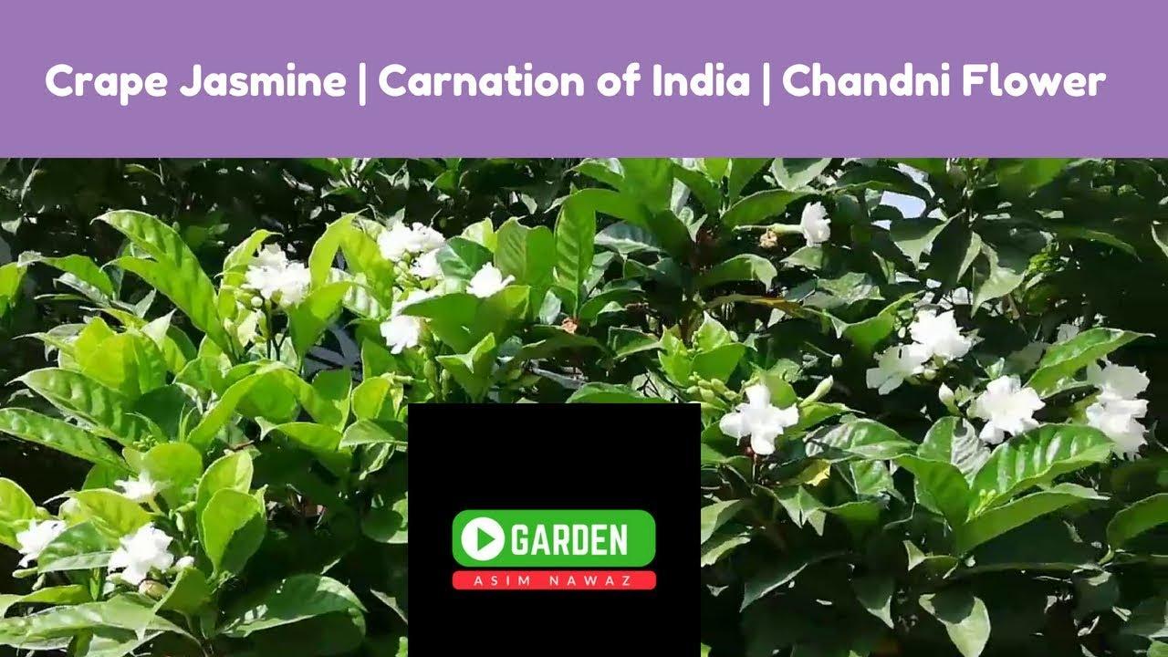 How To Grow And Get More Flowers On Tabernaemontana Crape Jasmine