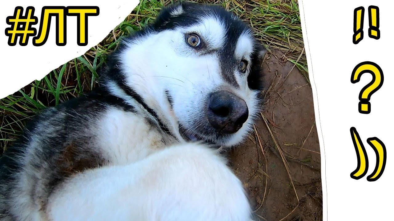 [#ЛТ]: Маламут ждет когда петух высунет голову )))