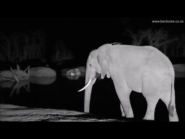 Nightjars, Elephant & a brief Leopard