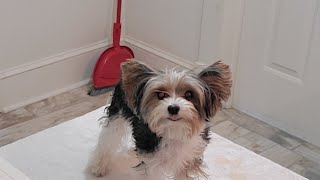 Grooming A Biewer Terrier