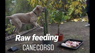 Raw Dog Feeding ASMR // Cane Corso