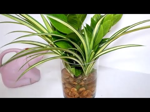 How to Decorate ZZ Plant with Spider Plant in Water for Indoor Decor