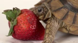 Turtle vs. Strawberry: The Struggle is Real