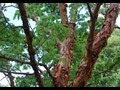 Acer griseum video