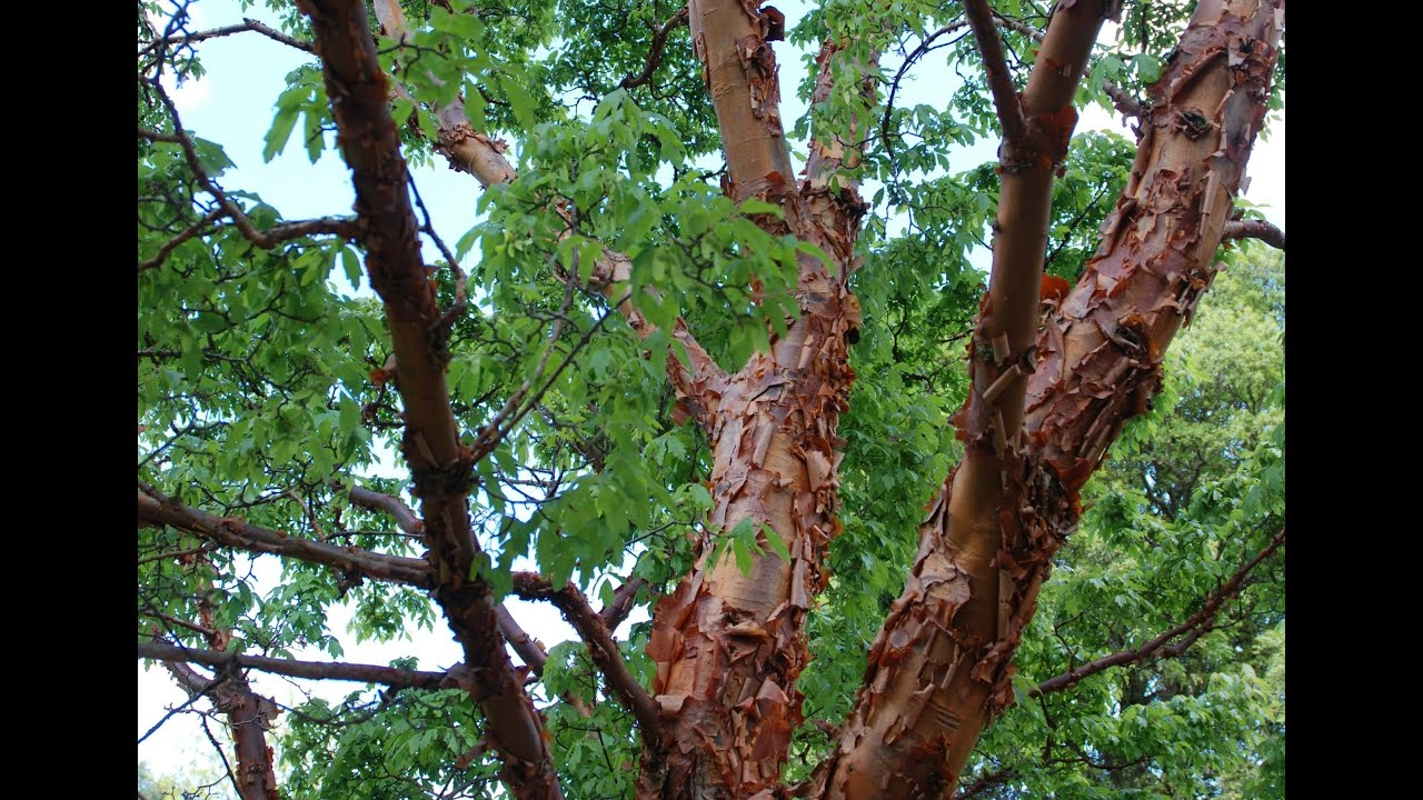 Acer griseum (Paperbar...