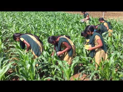 application of carbofuran granules inside of whorls in maize.