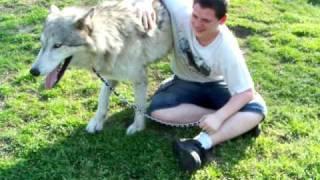 Loki scent marking ( High content wolfdog wolf dog hybrid )