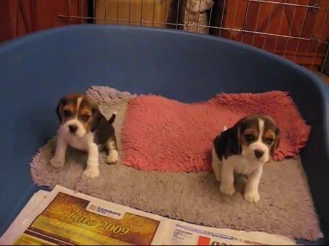 Beagle puppies five weeks old
