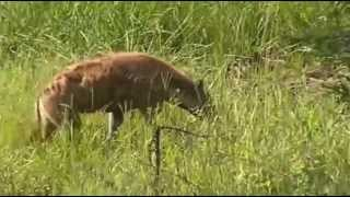 Hiena - dzika przyroda Afryki ,,Safari