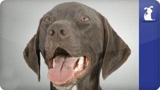 German Short Haired Pointer - Doglopedia