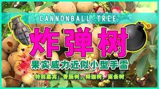 【炸弹树 - 果实威力近似小型手雷!】特别嘉宾:香肠树、释迦树,面条树