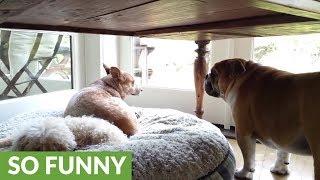 Bulldog Throws priceless temper tantrum for his stolen bed