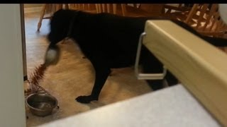 Frank The Black German Shorthaired Pointer Spilling The Dog Bowl.mp4