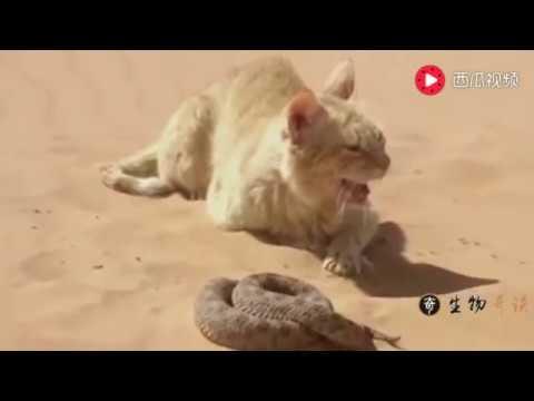 为什么猫咪不怕蛇咬,猫蛇大战,蛇被打的怀疑认生