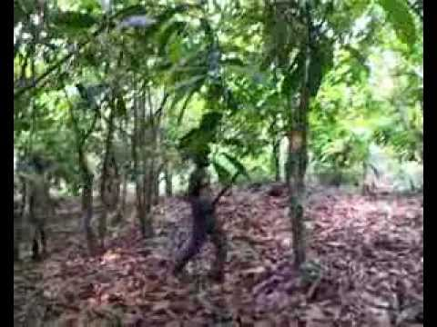 International Cocoa Initiative: Tackling Child Labour on Cocoa Growing (Introduction)