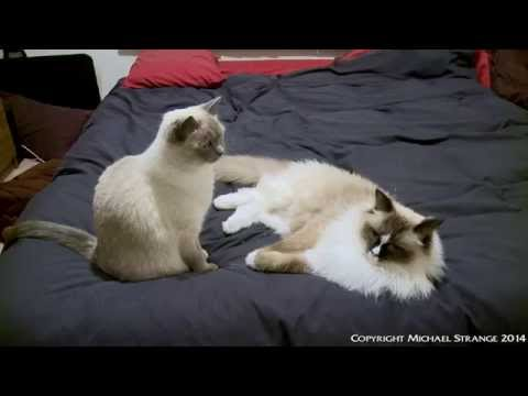 Ragdoll Cats Cuddle And Play Fight On Bed - ラグドール - PoathTV Floppy Cats - PoathCats