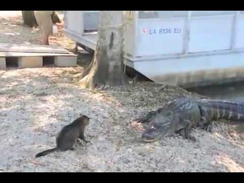 Pet Cat Saves Boy from Two Vicious GATORS -Cat vs Gator (original)