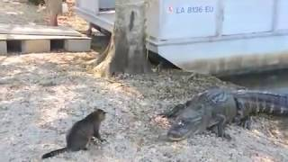 Cat vs Gator - Pet Cat Saves Boy from Two Vicious GATORS- (original) thumbnail