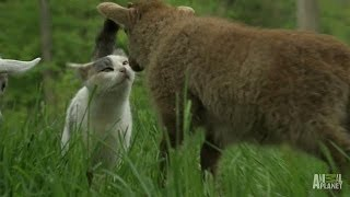 A Goat, a Lamb and a Rabbit Walk Out of a Farm | Too Cute!