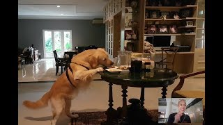 DOG STEALS FOOD WHEN LEFT HOME ALONE! | SNOWEE THE GOLDEN