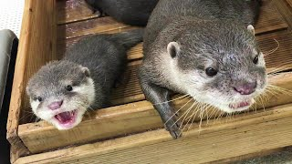 Father otter paternal love! Dad otter&Baby otter