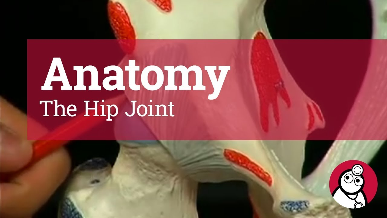 anatomy the hip joint [ 1280 x 720 Pixel ]