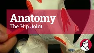 Anatomy: The Hip Joint