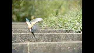 (hd) Kingfisher / カワセミ 2009 Slow Motion