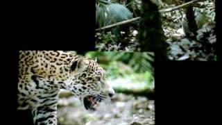 Built For The Kill - Rainforest - Jaguar