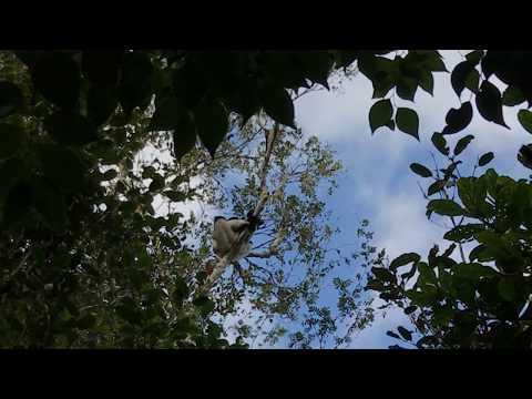 Indri Gesang in Andasibe