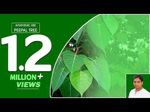 Ayurvedic use Peepal Tree (Pipal)