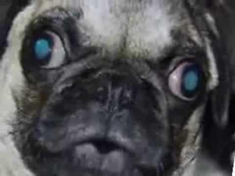 I'm a Pug! Woop - Morphing Pugs