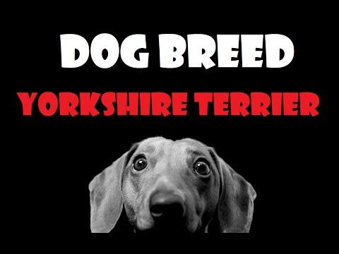 DOG BREED - Yorkshire Terrier [ENG]