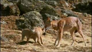 Äthiopischer Wolf jagt Ratten