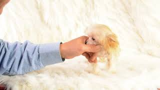 MythicKingdom Chinese Crested Prince Kaliko 18 weeks after getting a hair trim Oct 24 2020