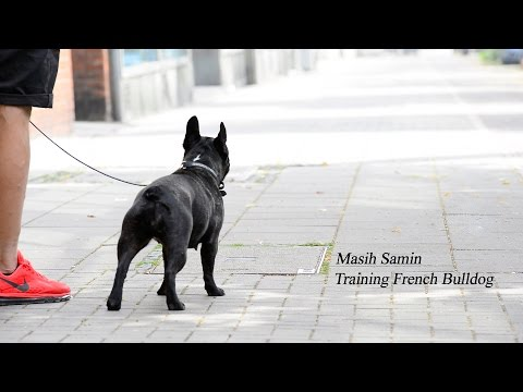 Masih Samin - Training French Bulldog