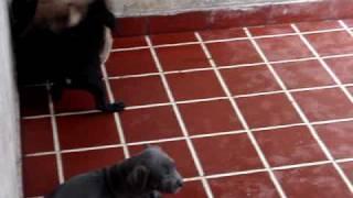 Cachorros American Pit Bull Terrier. En Venta Black Nose.