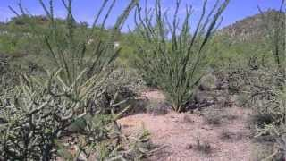 Medicinal Plants of the Southwest with Darcey Blue: Ocotillo in the Sonoran Desert