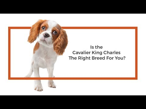 Is the Cavalier King Charles Spaniel the right breed for me?