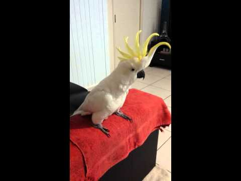 """Cockatoo dancing to """"Happy"""" by Pharrell Williams."""