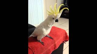 Cockatoo dancing to 'Happy' by Pharrell Williams.
