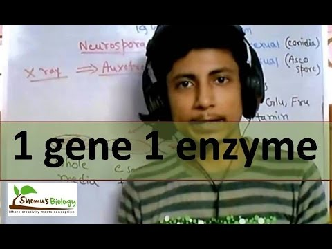 One gene one enzyme hypothesis