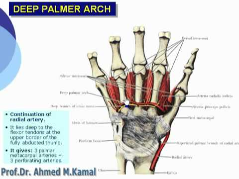 89 U Limb Deep palmar arch د أحمد كمال cxt - YouTube