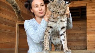 ПУМА, РЫСИ И КОТЫ ВСТРЕЧАЮТ КАТЮ / Начало заселения кошачьего дома