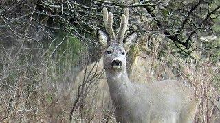 Zwierzęta  Ładne różki ma ten kozioł sarny /Animals  Nice antlers of roe deer
